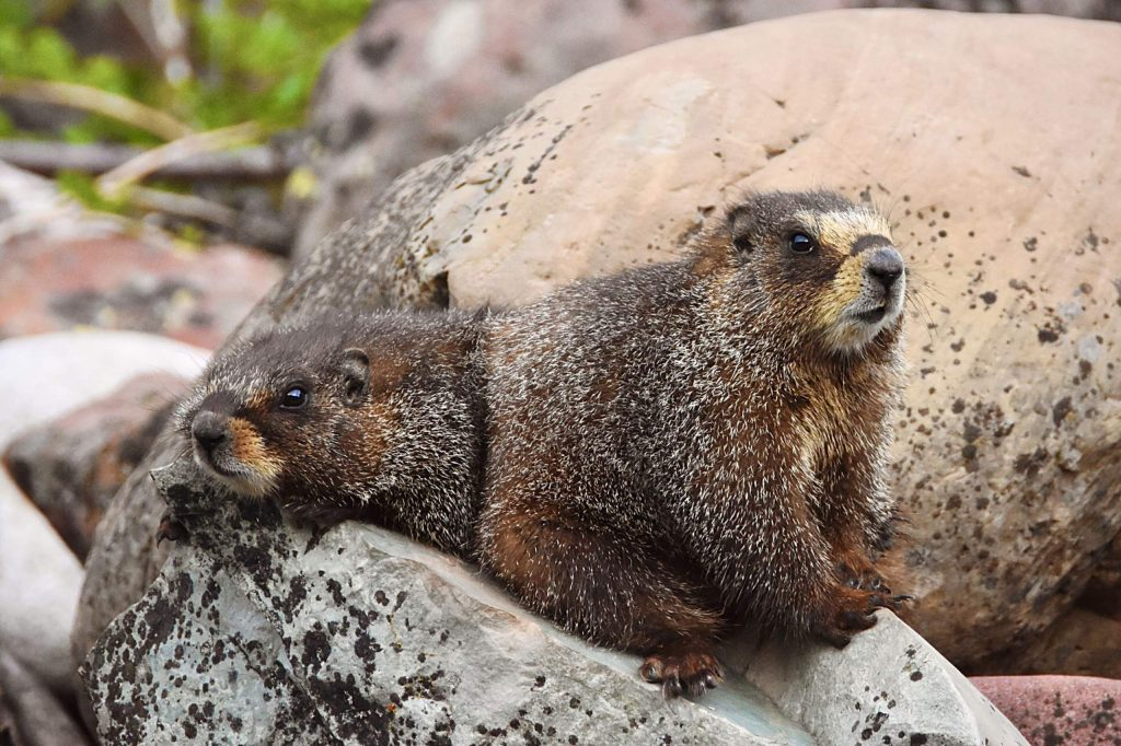 Aspen reader Summer Richards enjoys taking wildlife photos and last week she reported spending some time with two yellow-bellied marmots.
