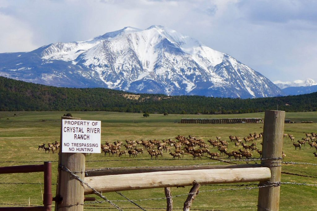 Elk gather in irrigated hay fields below Dry Park Road on the Crystal River Ranch, which is seeking to maintain conditional water storage rights tied to two potential 55-foot-tall dams. One of the dams would be located at the edge of the hayfields, to the left in the photo, and another would be located in the Four Mile Creek valley.