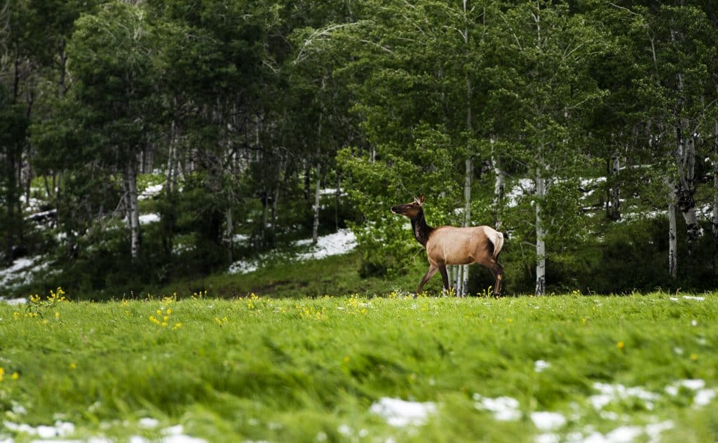A lone elk walks through the field off of Owl Creek Road after a summer snowstorm on Tuesday, June 9, 2020.