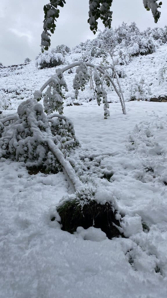 Trees were down in around Snowmass on Tuesday morning after a snowstorm rolled through the Aspen area.