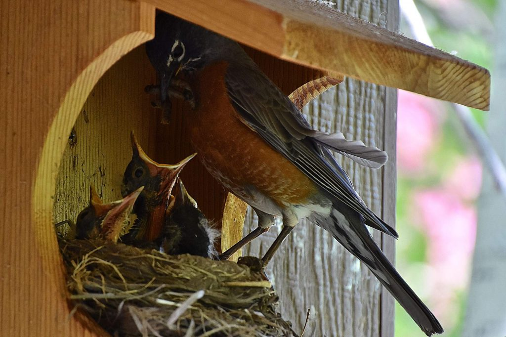 Two 1-week-old robins fed from Mom on a May day in the Aspen area. Reader Bob Helmus of Snowmass submitted this photo.