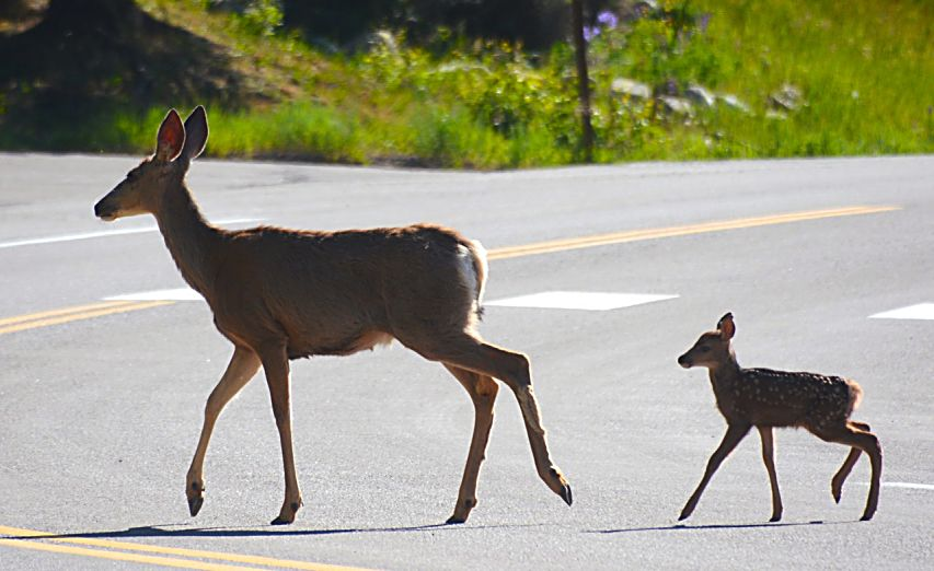 A reader recently spotted this mother and her fawn in Snowmass. The two regularly are spotted between 8 and 9 every morning in the Brush Creek Road area, said Tom Hills, who took photo.
