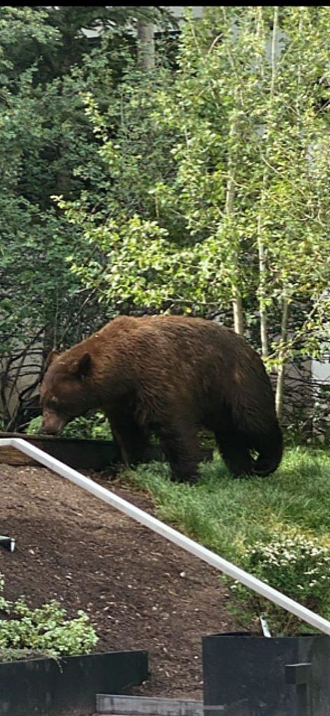 Reader Barry Bernsten recently spotted this bruin on Chatfelid Road near the Aspen Gold & Tennis Club.