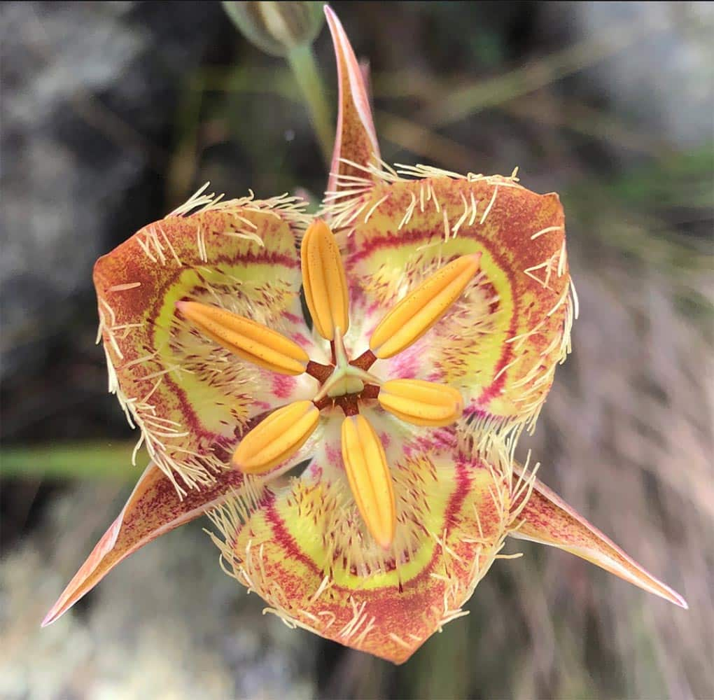 The ultra-rare Tiburon Mariposa Lily grows only on one serpentine outcrop on Ring Mountain on the Tiburon peninsula in Marin County, Cali.