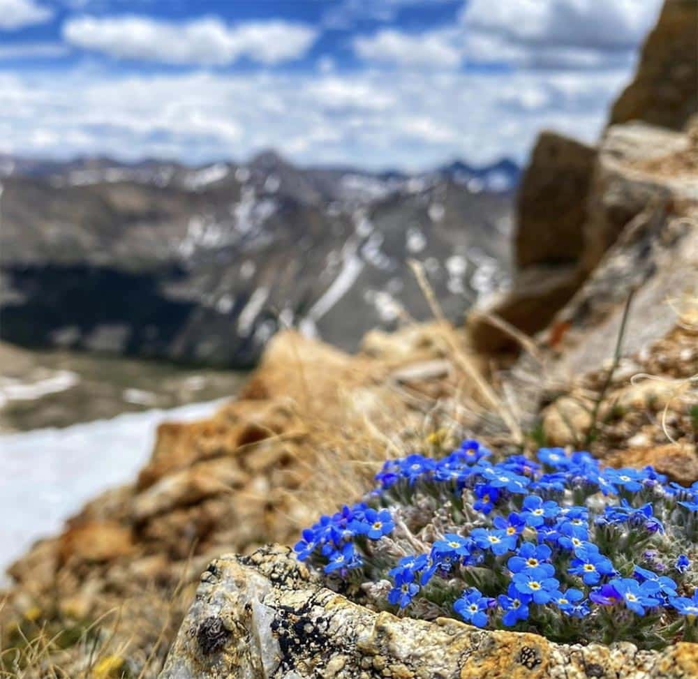 Arctic Alpine Forget-Me-Nots, also called King of the Alps, is a circumpolar cushion plant found in both the Rocky Mountains and the Alps.