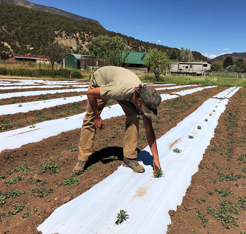 Raphael Fasi checks hemp seedlings in his field in Emma on July 1. He and his partner have successfully cultivated hemp in Silt since 2016. They expanded by planting a small field in Emma this year.