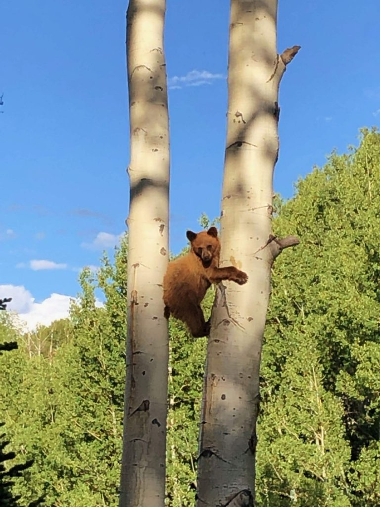 Bob Bindseil came across this bear during a recent mountain bike ride around the Snowmass ski area.