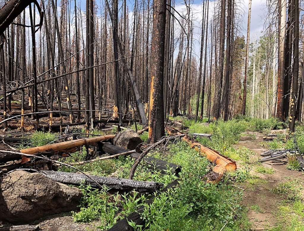 Charred tree trunks and new vegetation line Forest Service Trail 1911 on the top of Basalt Mountain in a view from Sunday.