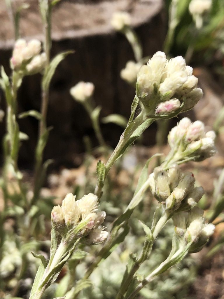 Pussytoes, Antennaria parviflora, can be found from the valley floor to the high peaks.