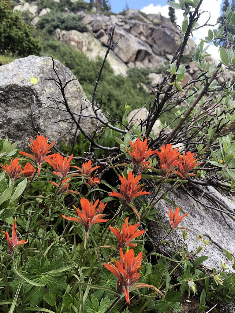 Giant red indian paintbrush.