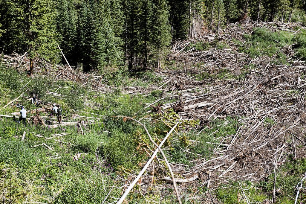 Crew members of Colorado Avalanche Information Center work to collect data from trees in avalanche debris off of East Snowmass Trail on Tuesday, July 7, 2020. (Kelsey Brunner/The Aspen Times)