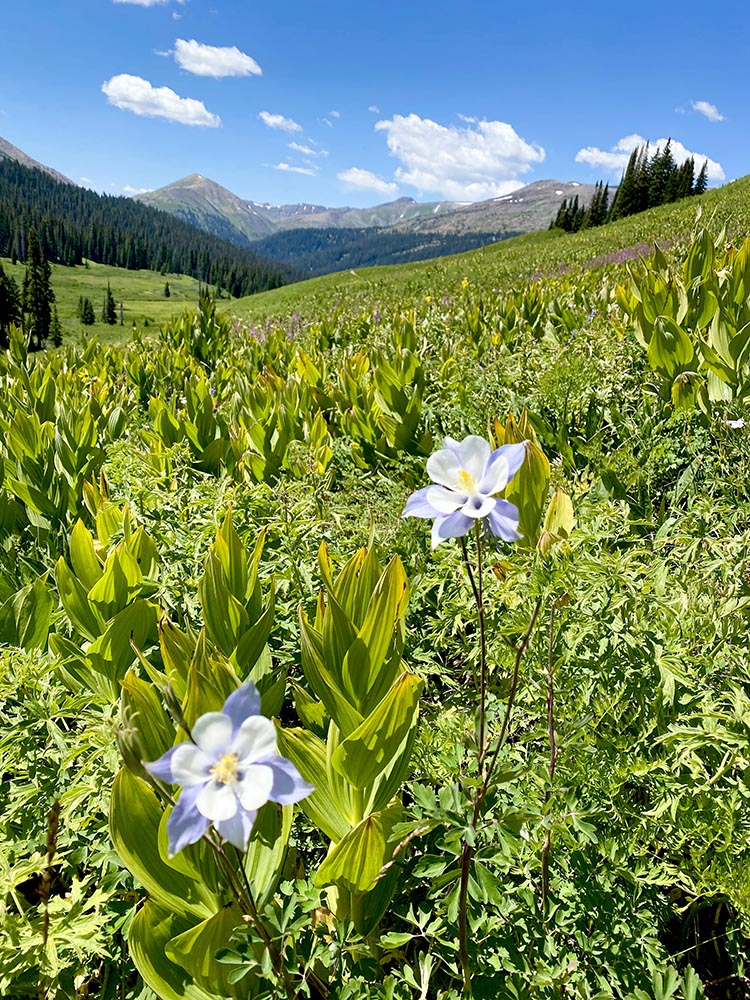 Columbines in bloom on the C.B. side of West Maroon Pass.