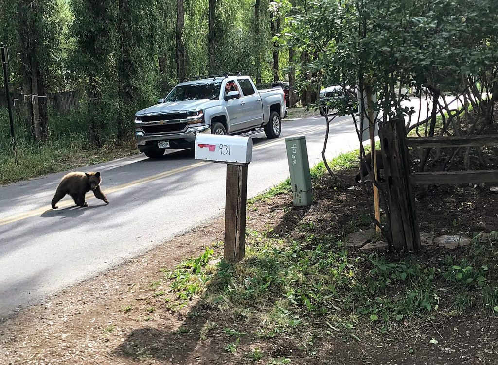 A bear cub crosses Gibson Street in Aspen's east end in August 2019. Increasing conflicts between bears and humans has lead to growth in bear mortality over the past two decades.