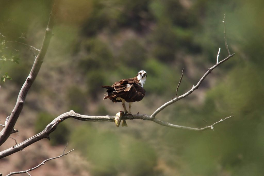 An osprey stands over the day's catch along the Roaring Fork River in Snowmass Canyon, in a photograph recently taken by reader Gary Feldman.