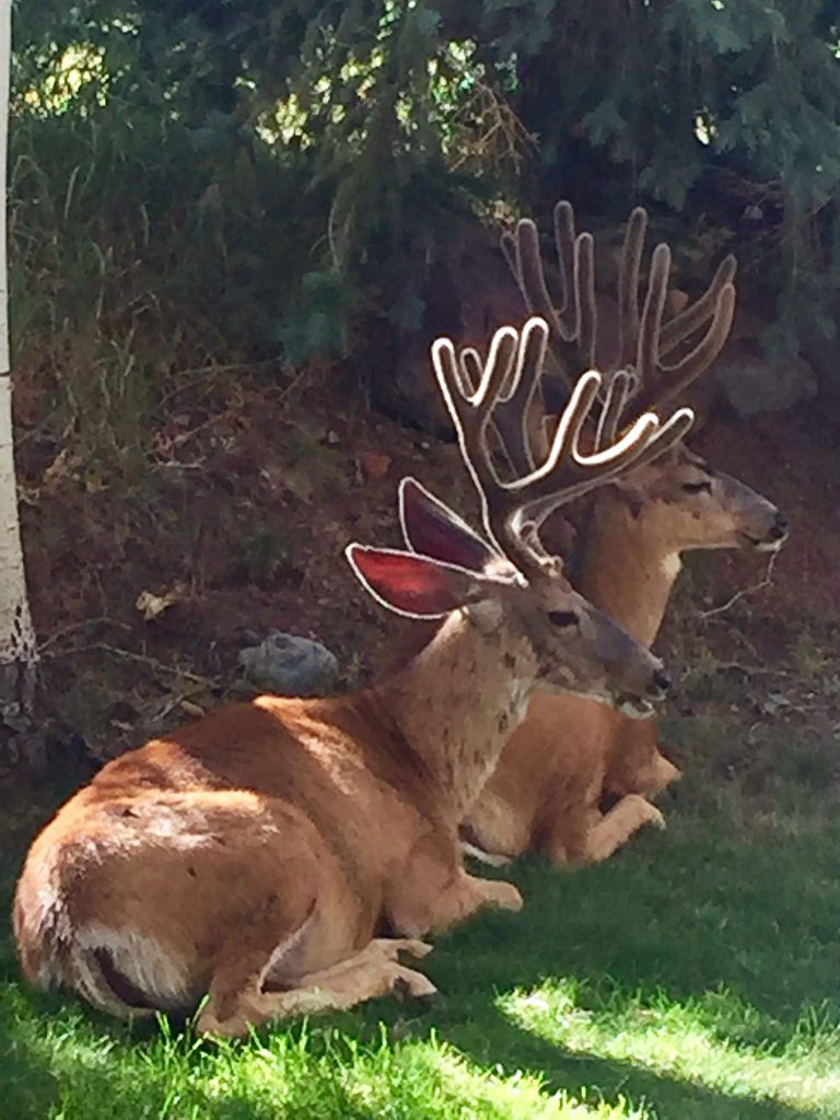 Karen Keeney calls these deer, who recently enjoyed a visit to Aspen Country Inn,