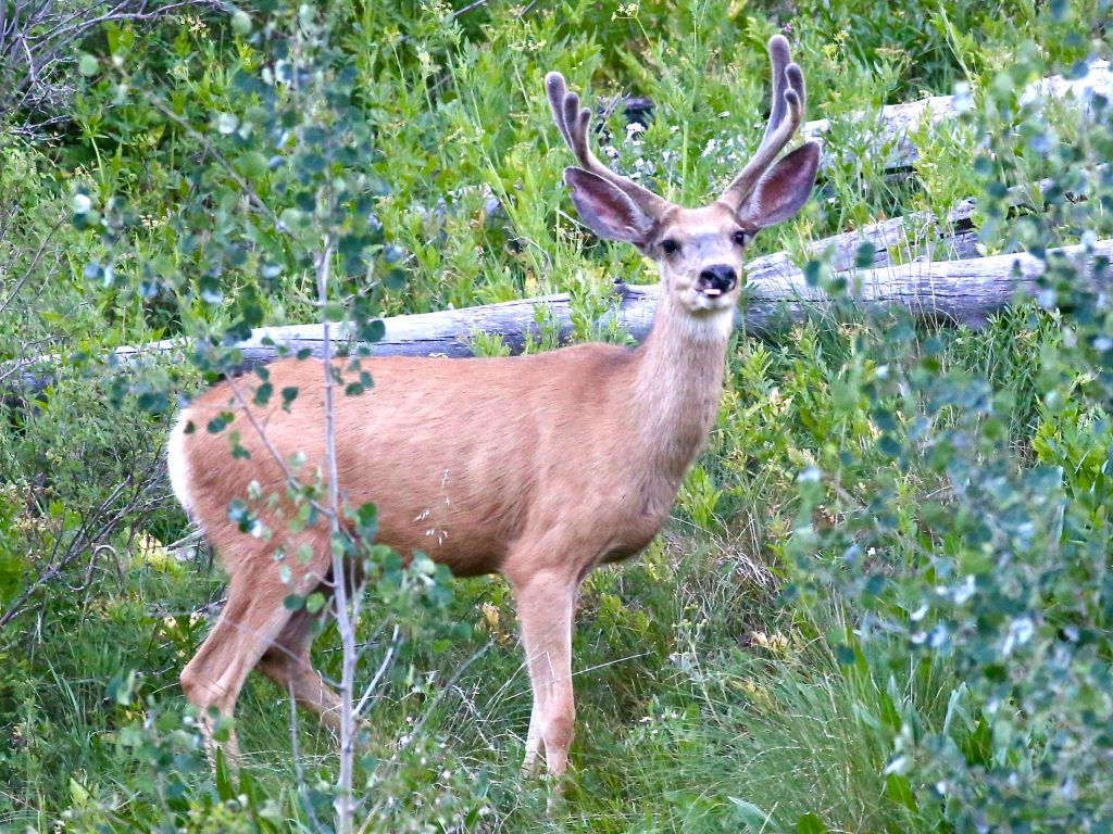 A deer forages off Castle Creek Road earlier this summer near Aspen. Despite the coronavirus pandemic, outdoor recreation, including hunting, is thriving in Colorado.