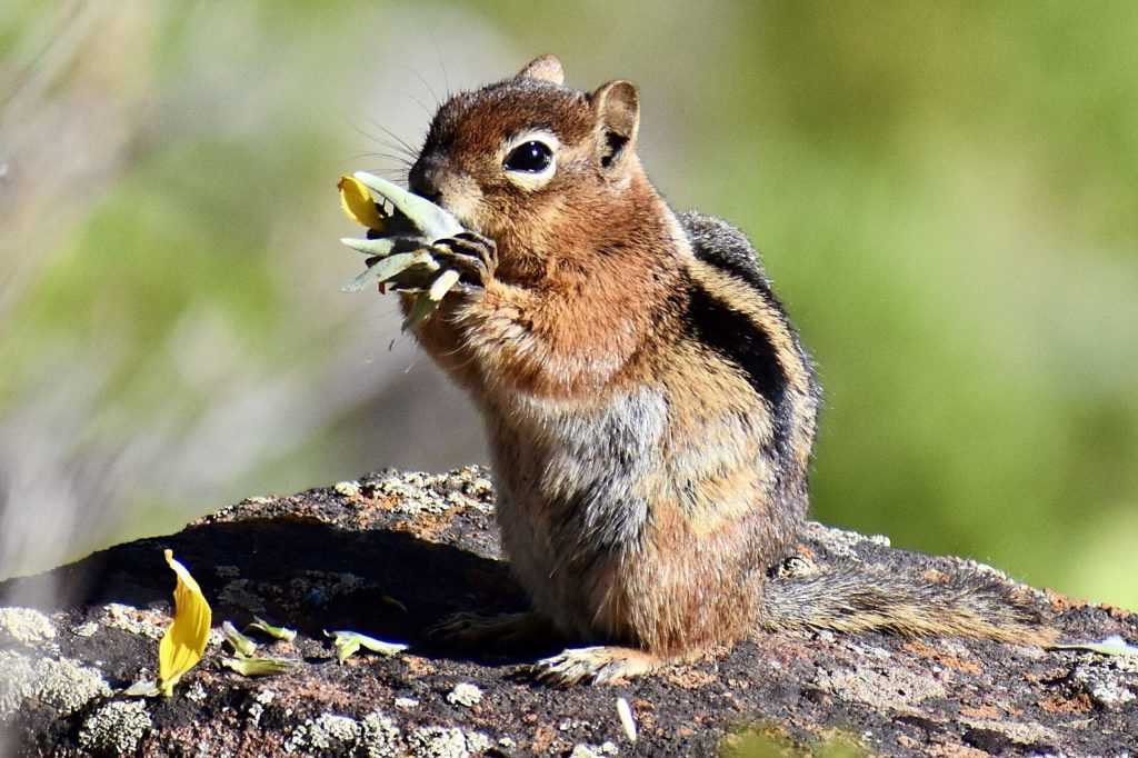 A chipmunk enjoys an early evening snack on the Sunnyside Trail.