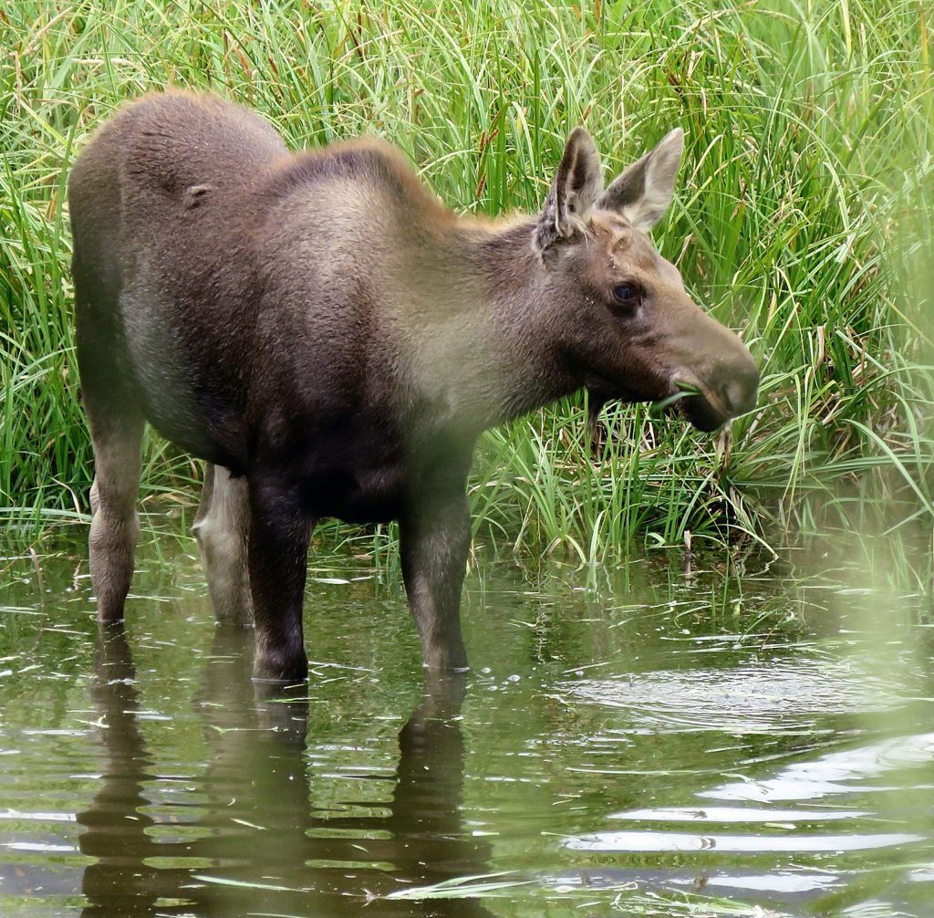 Moose have been hanging around Difficult Campground lately, and a reader spotted this one among four in the area in late August.