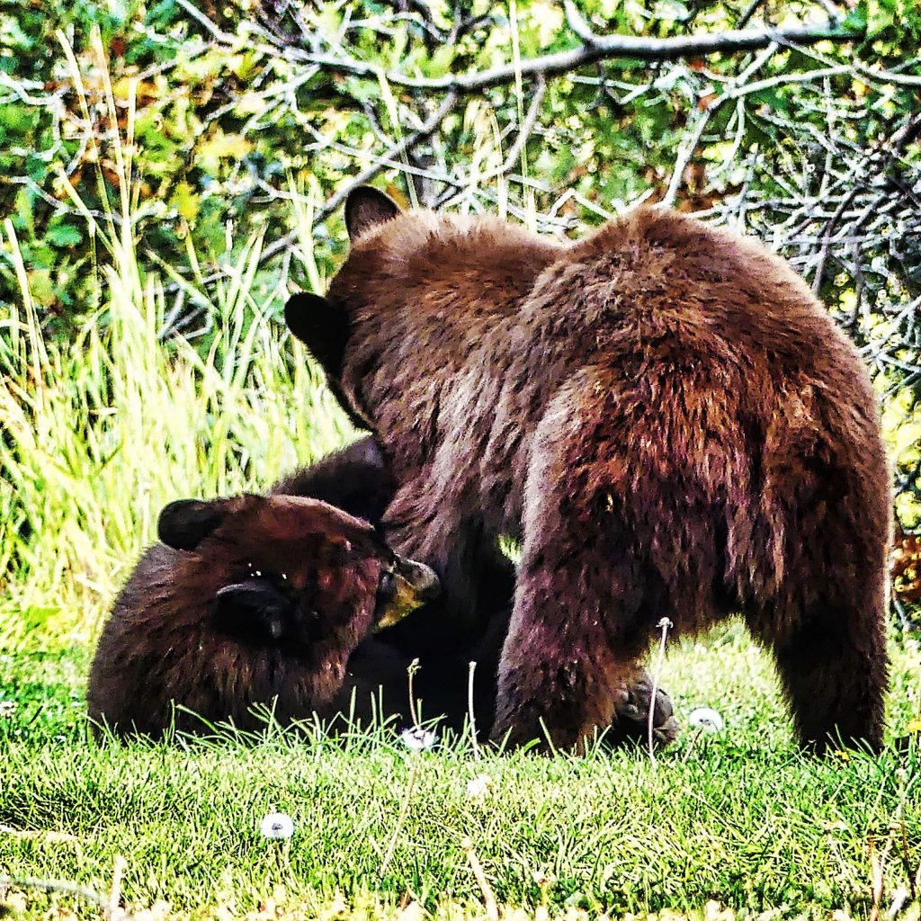 Two young bears enjoy a playful romp in the Aspen area last week. Mama bear was not to be seen,