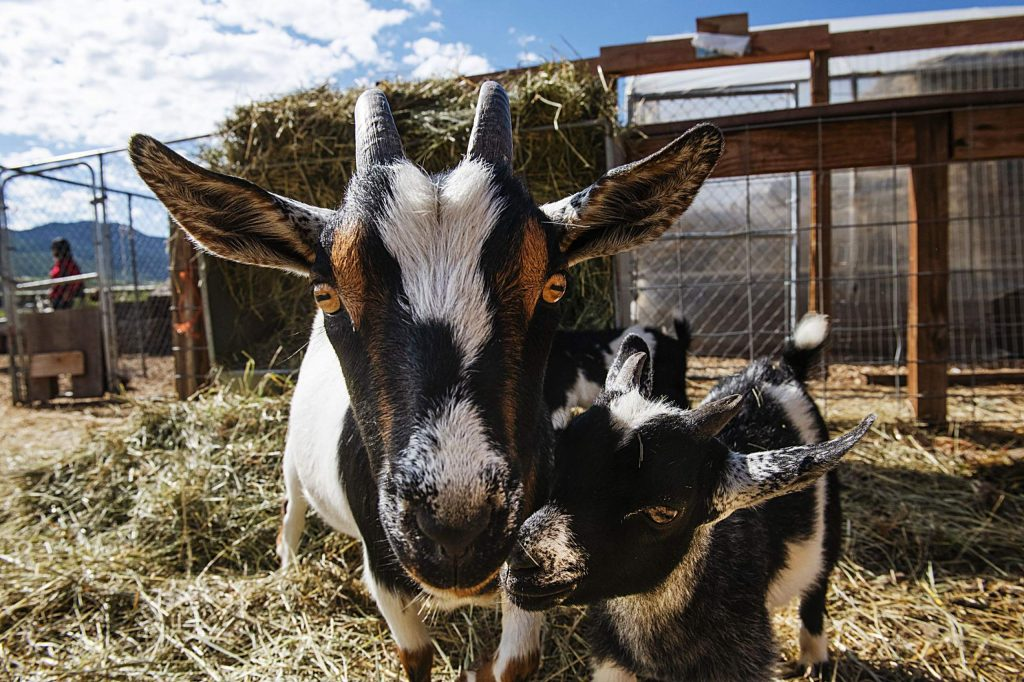 Goats at the Farm Collaborative at Cozy Point Ranch in Aspen on Wednesday, July 29, 2020. (Kelsey Brunner/The Aspen Times)