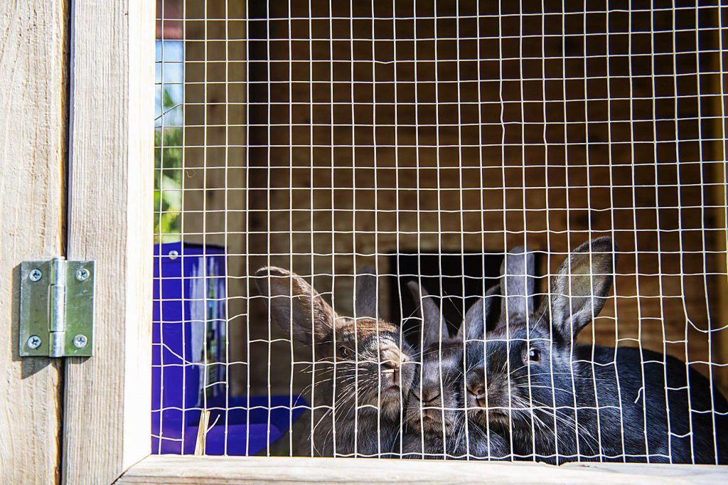 Three large rabbits push their noses against their hutch hoping for a treat at the Farm Collaborative at Cozy Point Ranch in Aspen on Wednesday, July 29, 2020. (Kelsey Brunner/The Aspen Times)