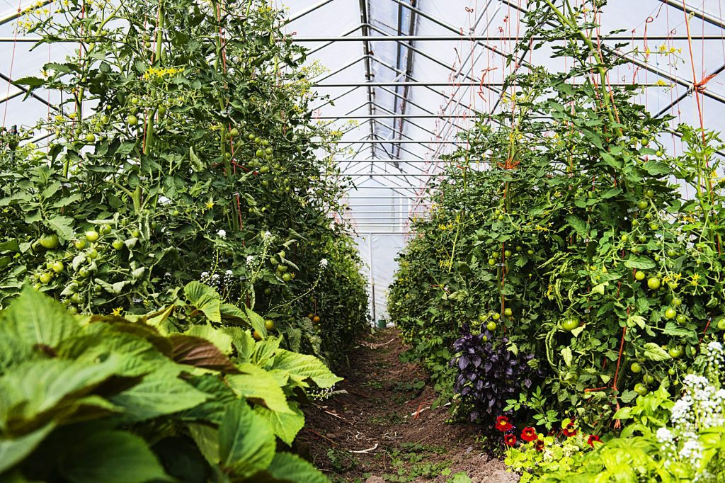Vegetables grow in one of the mobile greenhouses on the property at Farm Collaborative at Cozy Point Ranch in Aspen on Wednesday, July 29, 2020. (Kelsey Brunner/The Aspen Times)