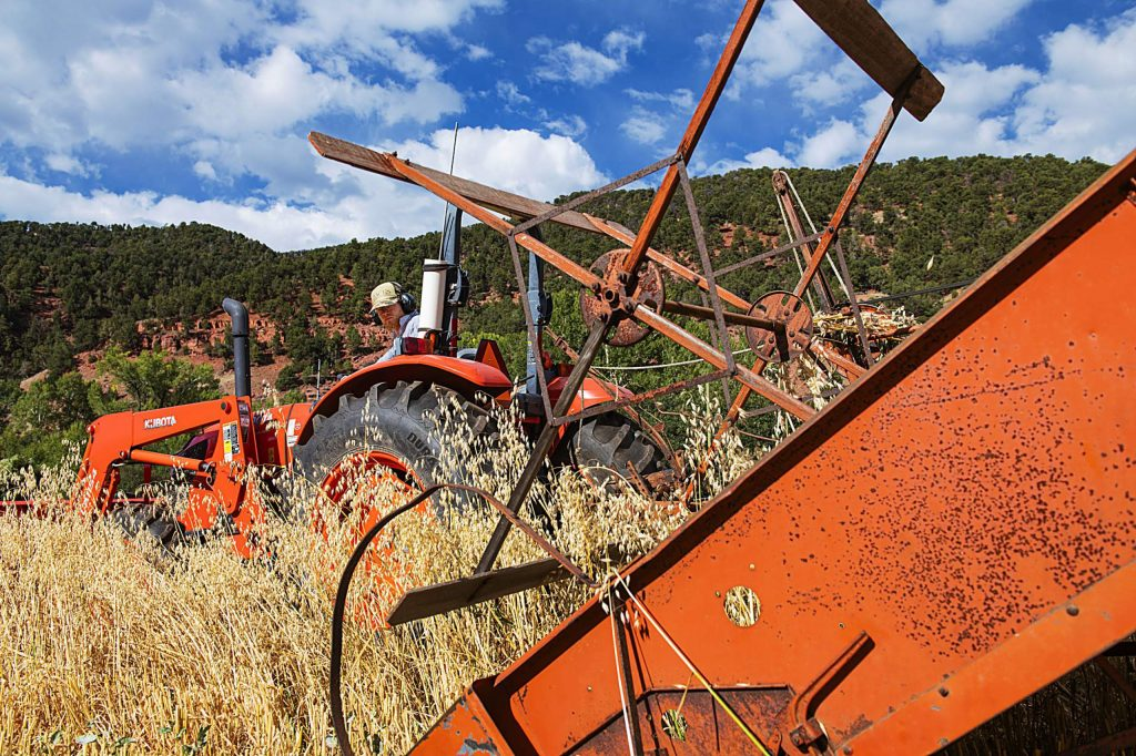 Farm Collaborative's agricultural director Cooper Means harvests oats using an antique combine on a property in Old Snowmass on Monday, Sept. 14, 2020.