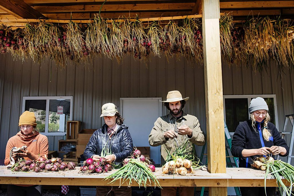 Farmers Hayden Gamble, left, Emma Geddes, Andrew Samuels and Courtney Pascal tie bunches of onion to hang and dry at Two Roots Farm on Emma Road on Wednesday, Sept. 9, 2020. (Kelsey Brunner/The Aspen Times)