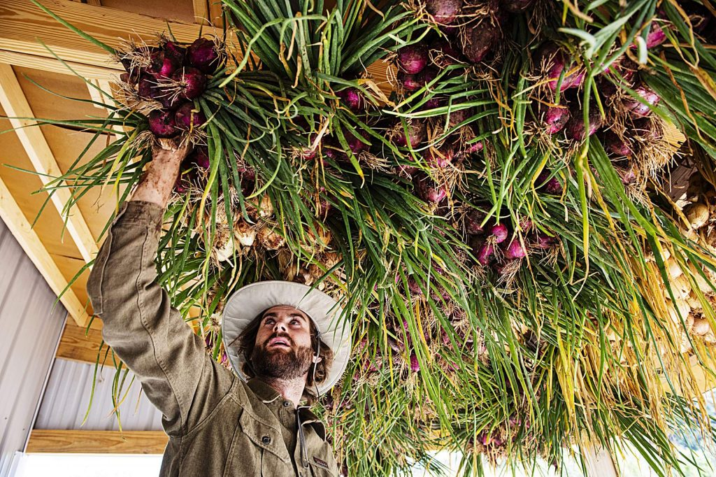 Farmer Andrew Samuels hangs bunches of onions to dry and then cure at Two Roots Farm on Emma Road on Wednesday, Sept. 9, 2020. The onions were harvested quickly because of the frost. Two Roots Farm will sell the onions through the winter. (Kelsey Brunner/The Aspen Times)