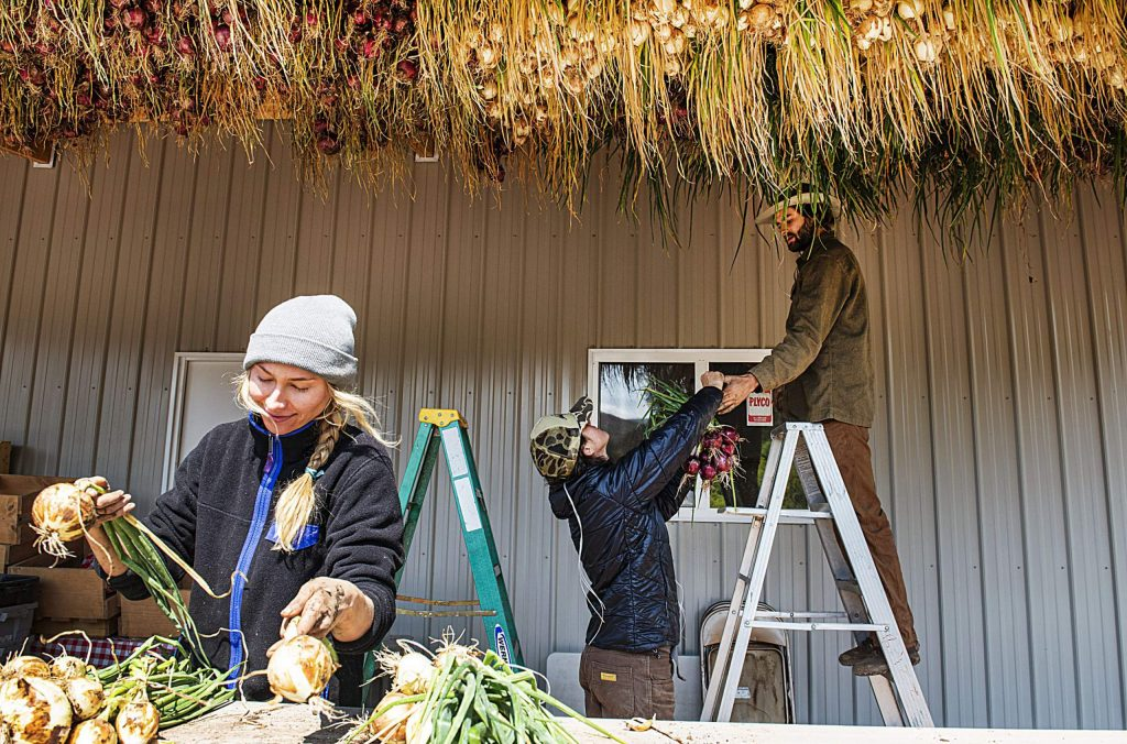 Courtney Pascal, left, ties bunches of onion as Emma Geddes hands onions to Andrew Samuels to hang on the ceiling of a barn at Two Roots Farm on Emma Road on Wednesday, Sept. 9, 2020. (Kelsey Brunner/The Aspen Times)