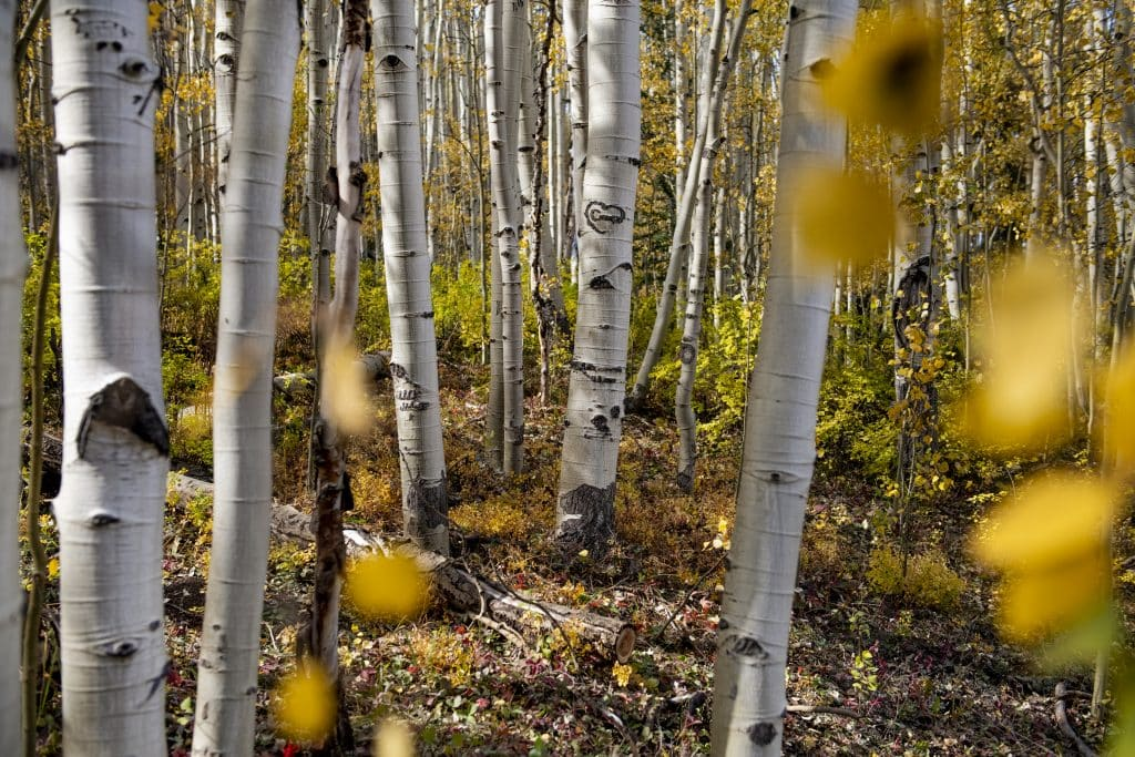 A carved heart scars an aspen tree in a grove off of Castle Creek Road in Aspen on Wednesday, Sept. 23, 2020.