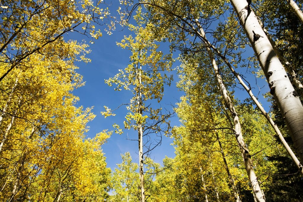 Yellowing aspen trees huddle in a grove on East Snowmass trail on Thursday, Sept. 24, 2020.