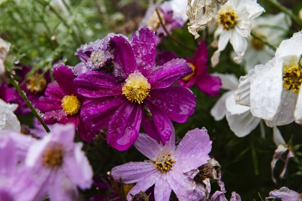 Summer flowers wilt in the frost of a fresh snowstorm in Aspen on Tuesday, Sept. 8, 2020.