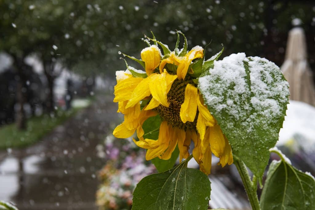 A sunflower hangs heavy with fresh snow in Aspen on Tuesday, Sept. 8, 2020.