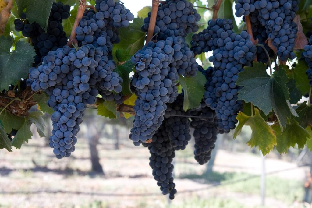 blue grape clusters hanging from vines ready to be harvested from a California vineyard.