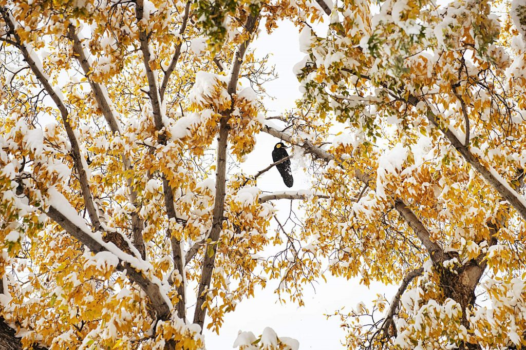 A crow pulls snow off of branches in a tree with his beak in downtown Aspen on Monday, Oct. 26, 2020.