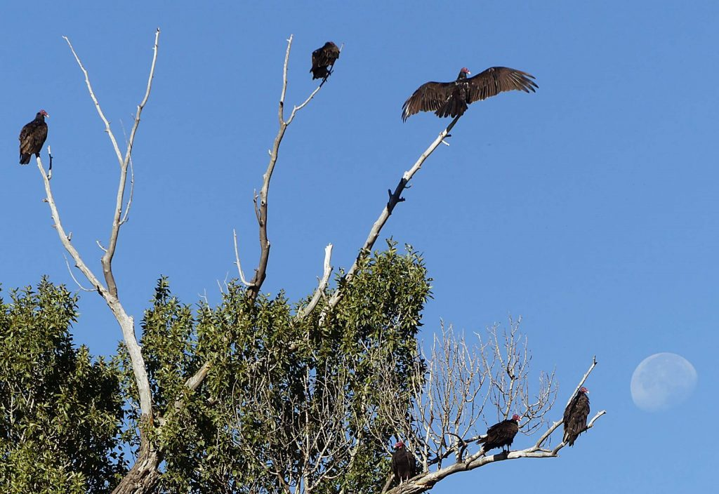 Turkey vultures hang out on a dead tree next to the Basalt Regional Library.