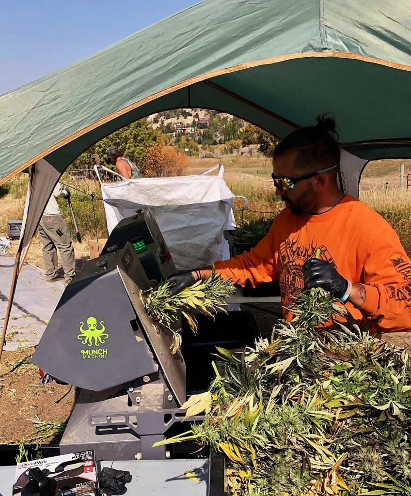 A worker feeds hemp plants to the Munch Machine. The trimmer chews up the stems and leaves and leaves the flowers, which will be sold for smoking.
