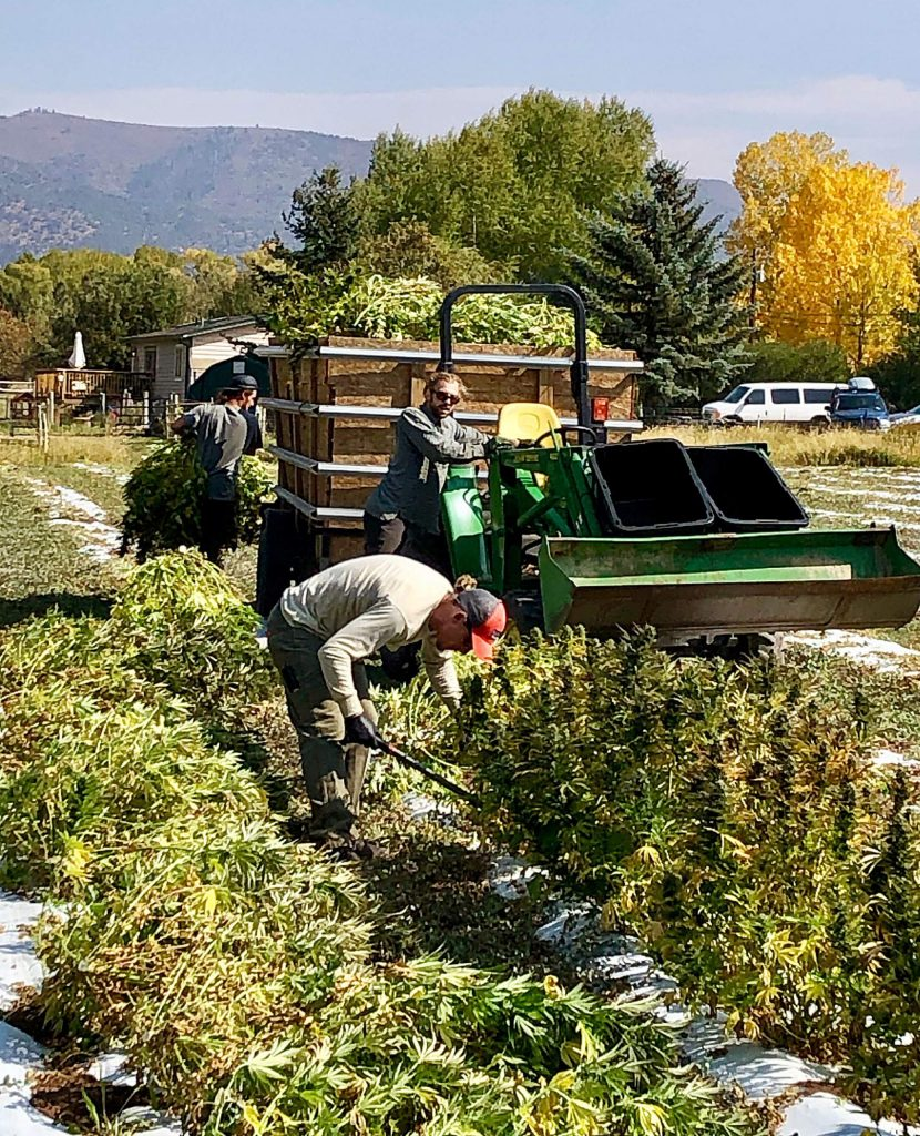 Workers hand cut and pick hemp plants at SIRH Farm's field in Emma on Monday.